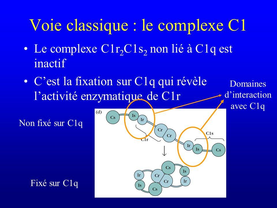 Voie classique : le complexe C1 Le complexe C1r 2 C1s 2 non lié à C1q est inactif Cest la fixation sur C1q qui révèle lactivité enzymatique de C1r Non