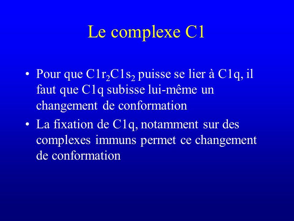Le complexe C1 Pour que C1r 2 C1s 2 puisse se lier à C1q, il faut que C1q subisse lui-même un changement de conformation La fixation de C1q, notamment