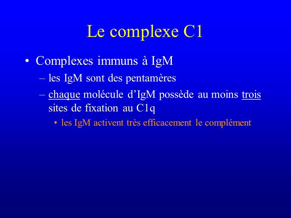 Le complexe C1 Complexes immuns à IgM –les IgM sont des pentamères –chaque molécule dIgM possède au moins trois sites de fixation au C1q les IgM activ
