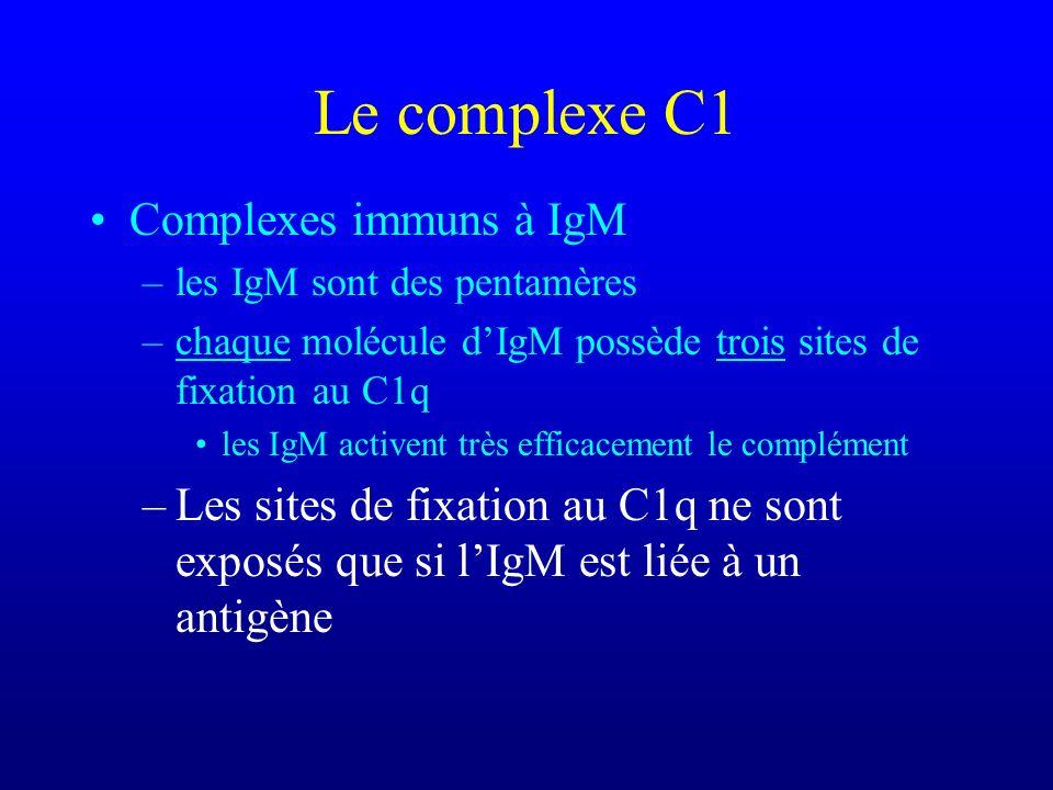 Le complexe C1 Complexes immuns à IgM –les IgM sont des pentamères –chaque molécule dIgM possède trois sites de fixation au C1q les IgM activent très