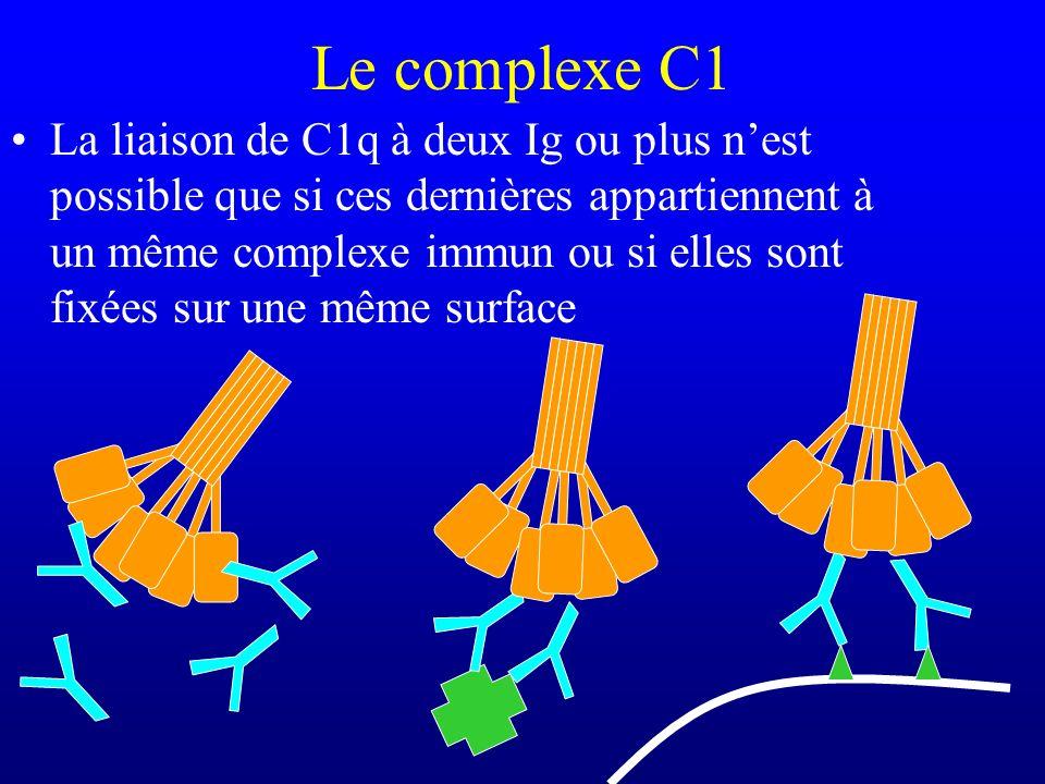 Le complexe C1 La liaison de C1q à deux Ig ou plus nest possible que si ces dernières appartiennent à un même complexe immun ou si elles sont fixées s