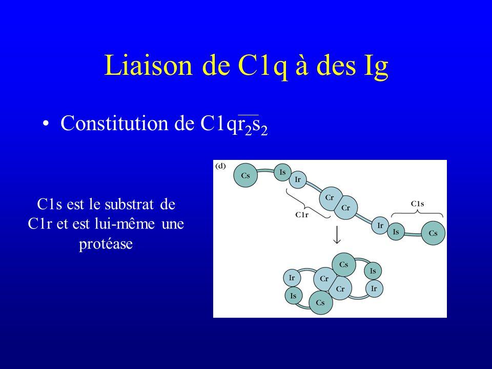 Constitution de C1qr 2 s 2 C1s est le substrat de C1r et est lui-même une protéase