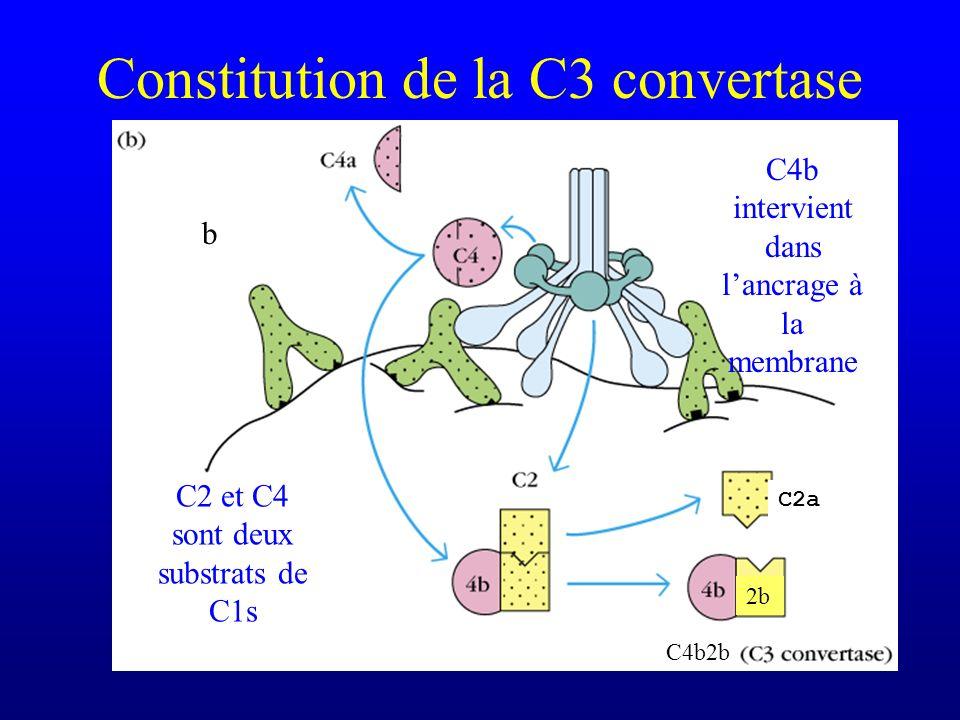 Constitution de la C3 convertase C2 et C4 sont deux substrats de C1s C4b intervient dans lancrage à la membrane b C2a 2b C4b2b