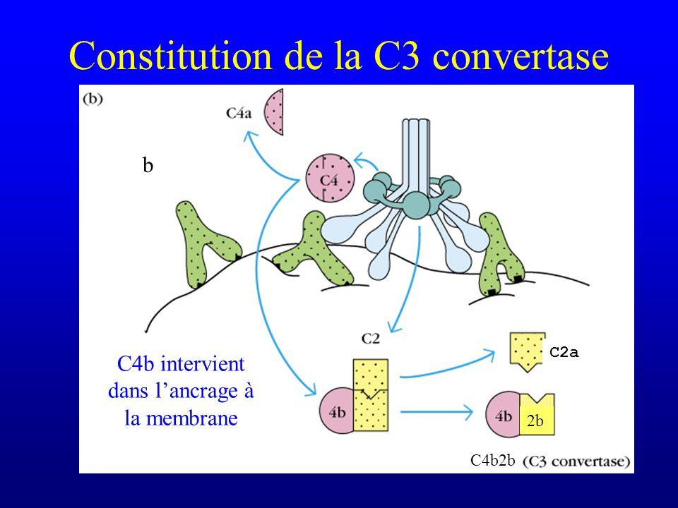 Constitution de la C3 convertase b C2a 2b C4b2b C4b intervient dans lancrage à la membrane