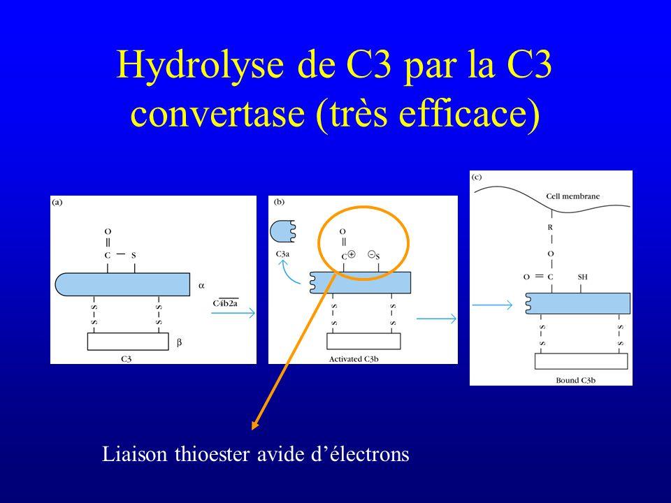 Hydrolyse de C3 par la C3 convertase (très efficace) Liaison thioester avide délectrons