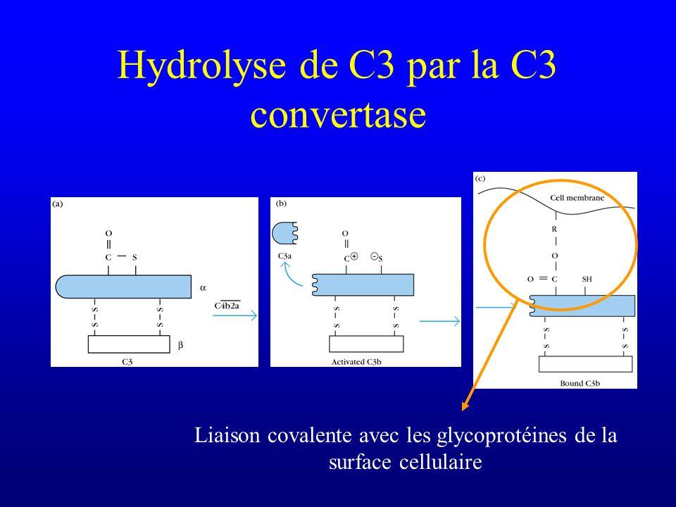 Hydrolyse de C3 par la C3 convertase Liaison covalente avec les glycoprotéines de la surface cellulaire