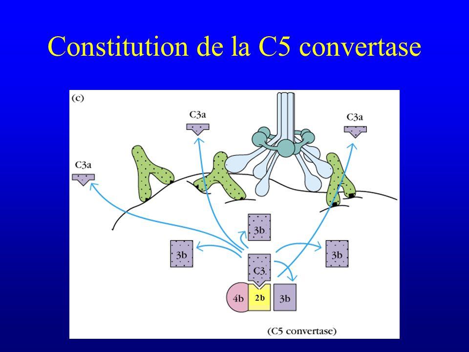 Constitution de la C5 convertase 2b