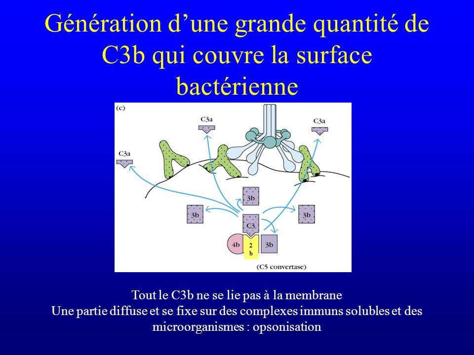 Génération dune grande quantité de C3b qui couvre la surface bactérienne 2b2b Tout le C3b ne se lie pas à la membrane Une partie diffuse et se fixe su