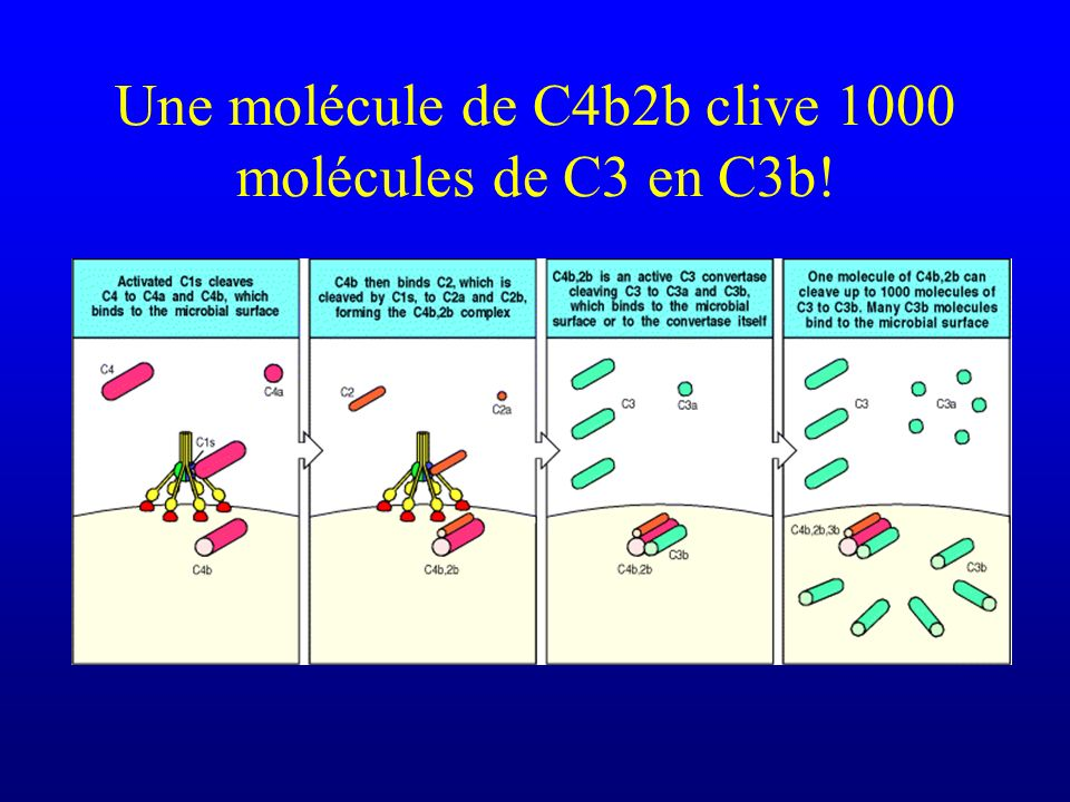 Une molécule de C4b2b clive 1000 molécules de C3 en C3b!