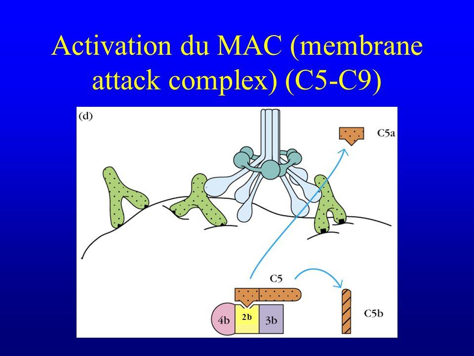 Activation du MAC (membrane attack complex) (C5-C9) 2b