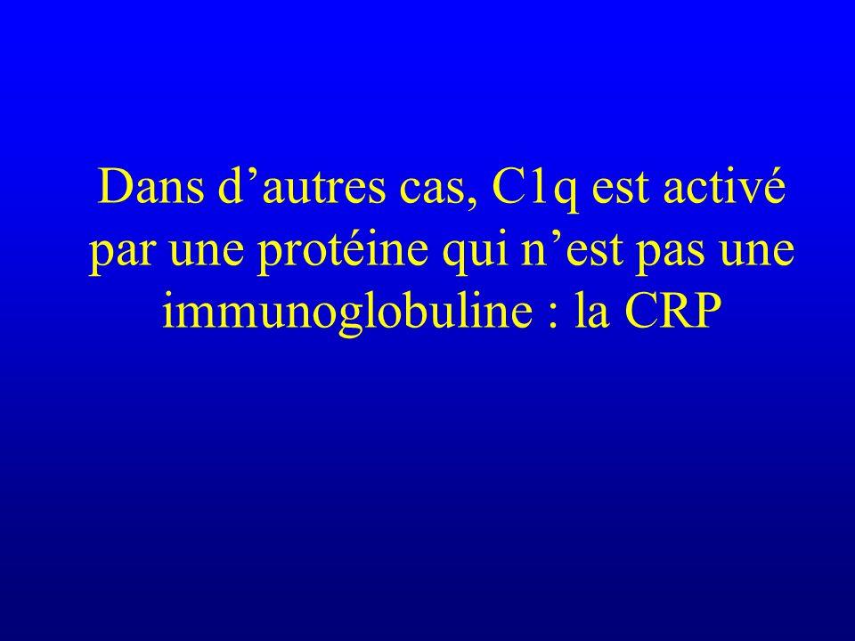 Dans dautres cas, C1q est activé par une protéine qui nest pas une immunoglobuline : la CRP