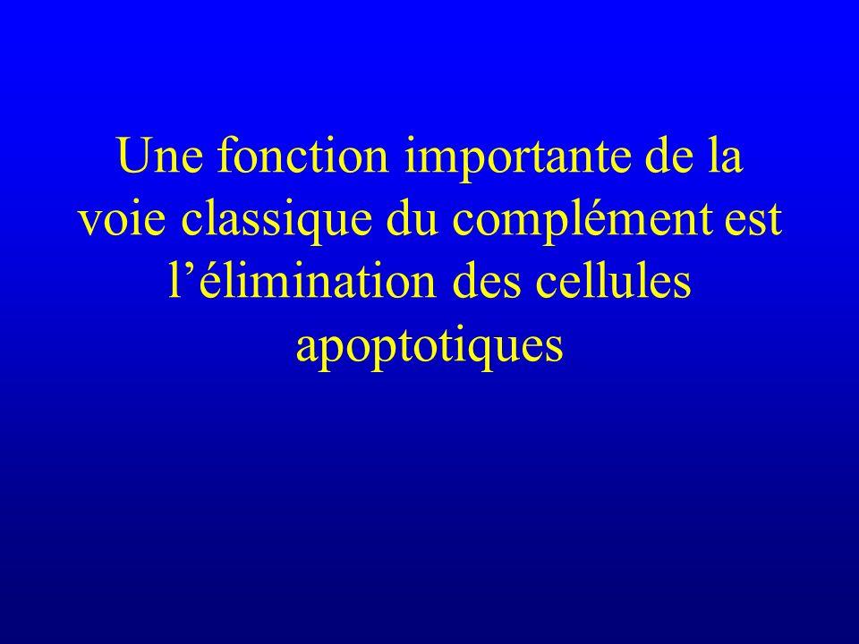 Une fonction importante de la voie classique du complément est lélimination des cellules apoptotiques