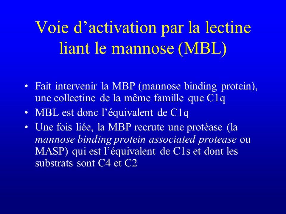 Voie dactivation par la lectine liant le mannose (MBL) Fait intervenir la MBP (mannose binding protein), une collectine de la même famille que C1q MBL