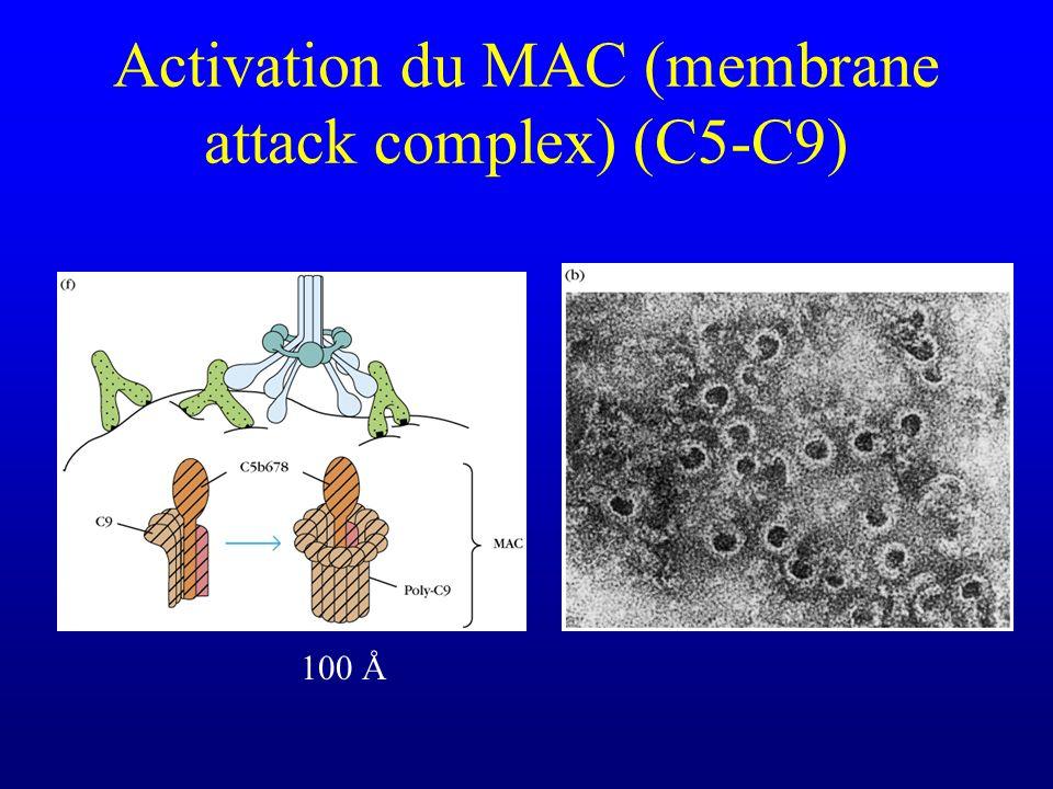 Activation du MAC (membrane attack complex) (C5-C9) 100 Å