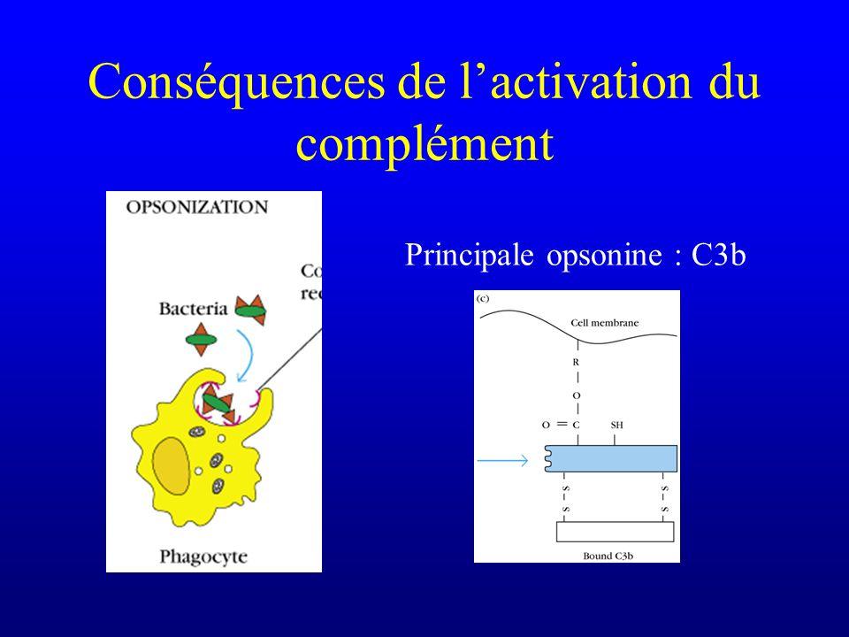 Conséquences de lactivation du complément Principale opsonine : C3b