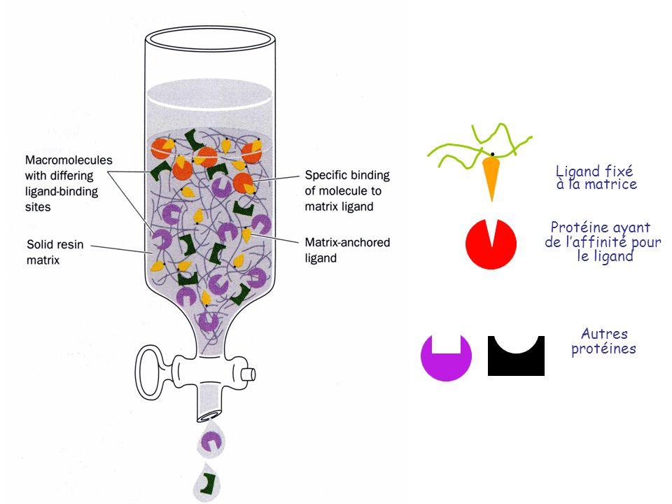 Ligand fixé à la matrice Protéine ayant de laffinité pour le ligand. Autres protéines