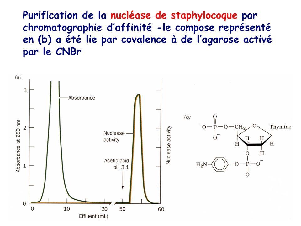 Purification de la nucléase de staphylocoque par chromatographie daffinité -le compose représenté en (b) a été lie par covalence à de lagarose activé
