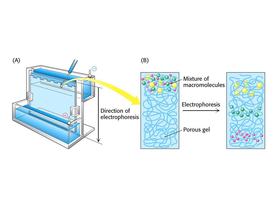 Relation logarithmique entre la masse moléculaire dune protéine et sa mobilité électrophorétique relative en SDS-PAGE