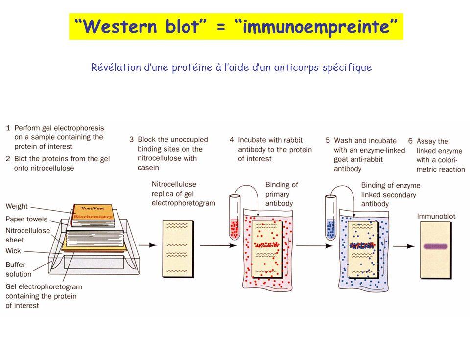Western blot = immunoempreinte Révélation dune protéine à laide dun anticorps spécifique
