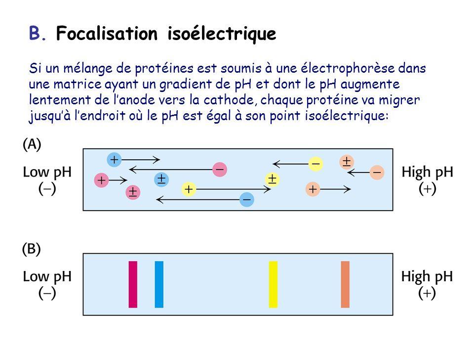 B. Focalisation isoélectrique Si un mélange de protéines est soumis à une électrophorèse dans une matrice ayant un gradient de pH et dont le pH augmen