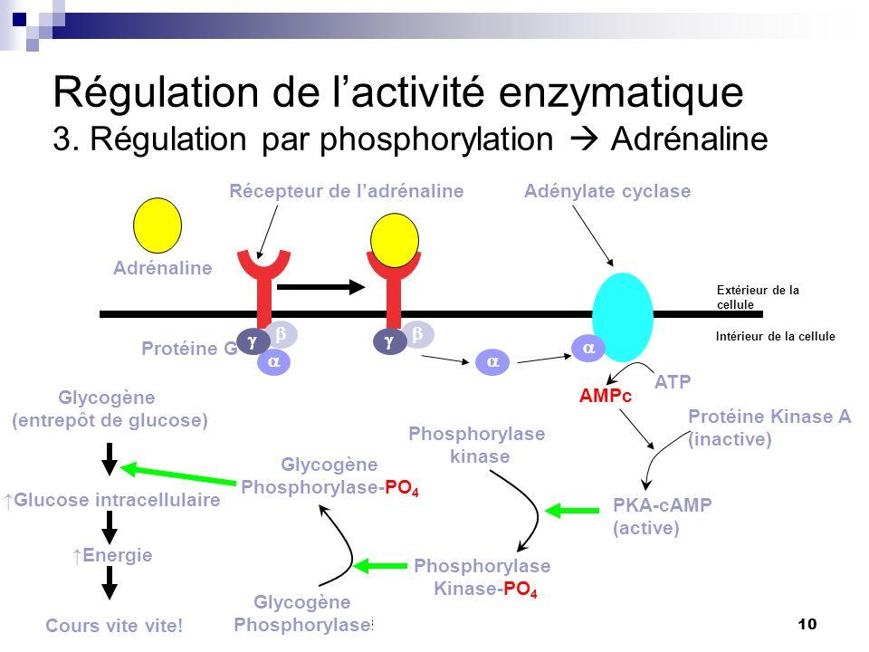 CHMI 2227 - E.R. Gauthier, Ph.D.10 Régulation de lactivité enzymatique 3. Régulation par phosphorylation Adrénaline Adrénaline Protéine G Récepteur de