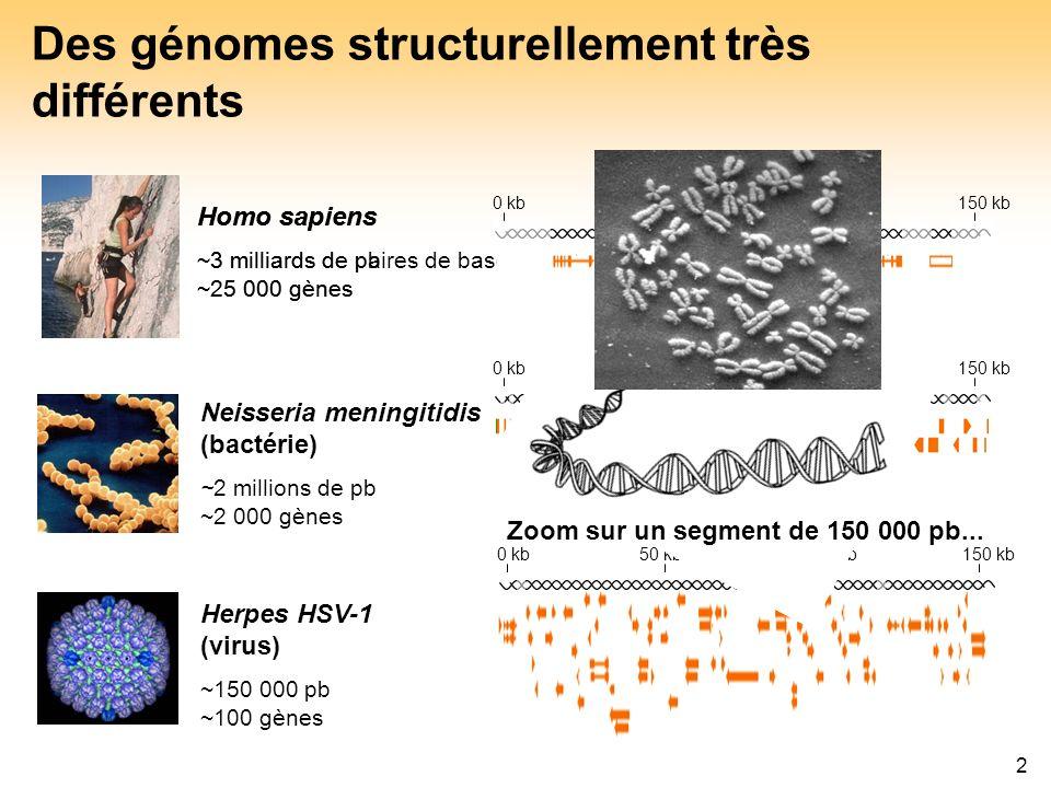 2 Des génomes structurellement très différents Homo sapiens ~3 milliards de paires de bases (pb) ~25 000 gènes Neisseria meningitidis (bactérie) ~2 mi