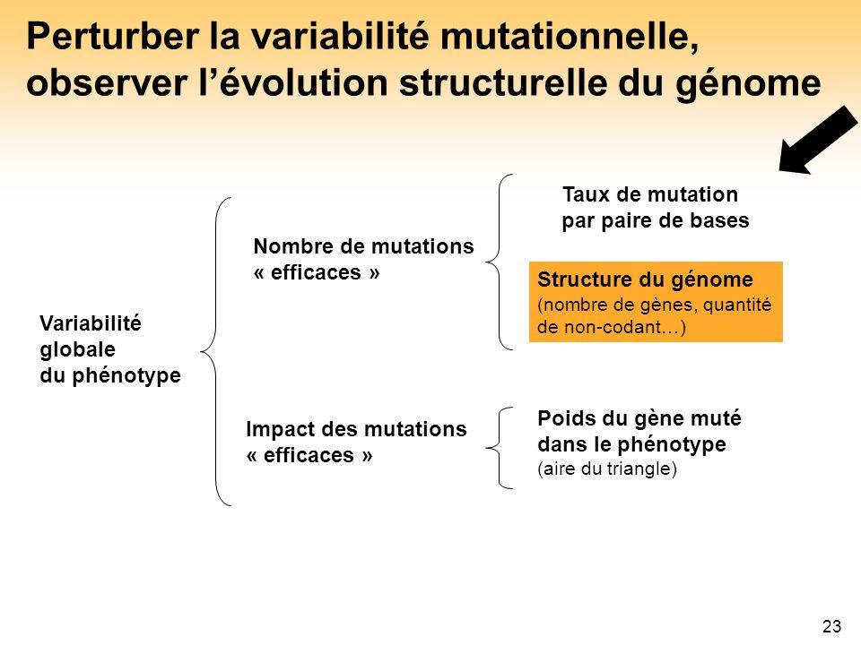 23 Perturber la variabilité mutationnelle, observer lévolution structurelle du génome Taux de mutation par paire de bases Structure du génome (nombre