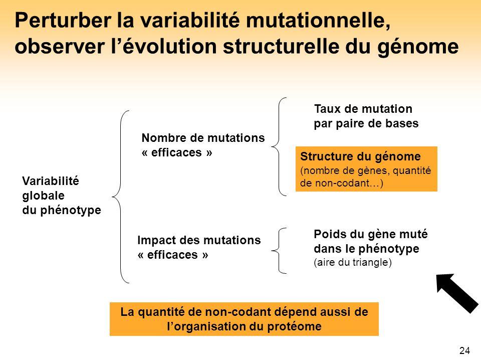 24 Perturber la variabilité mutationnelle, observer lévolution structurelle du génome La quantité de non-codant dépend aussi de lorganisation du proté