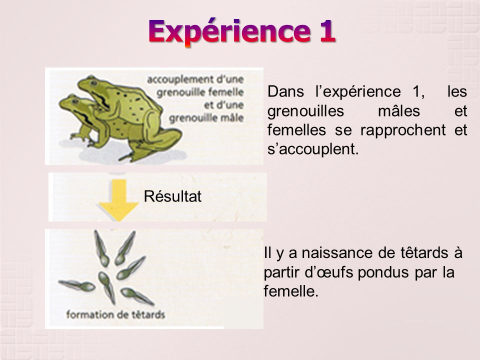 Résultat Dans lexpérience 1, les grenouilles mâles et femelles se rapprochent et saccouplent. Il y a naissance de têtards à partir dœufs pondus par la