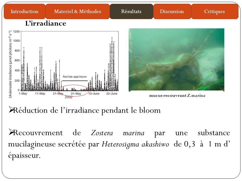 Réduction de lirradiance pendant le bloom Recouvrement de Zostera marina par une substance mucilagineuse secrétée par Heterosigma akashiwo de 0,3 à 1 m d épaisseur.
