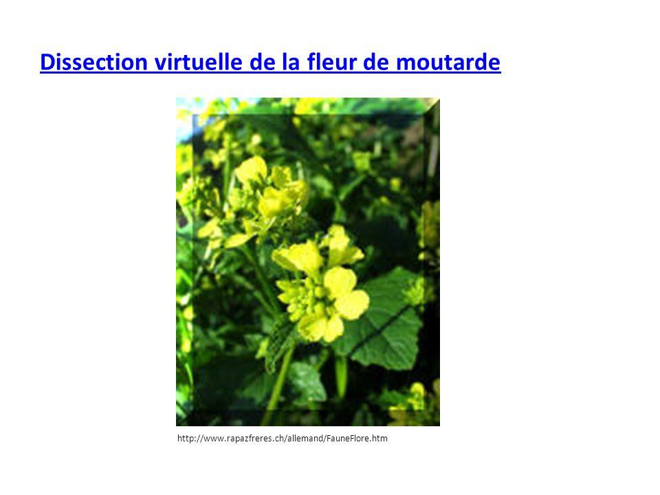 Dissection virtuelle de la fleur de moutarde http://www.rapazfreres.ch/allemand/FauneFlore.htm
