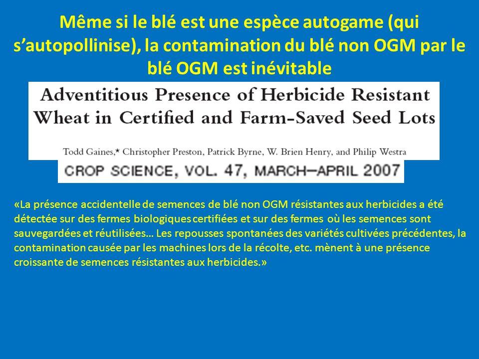 Même si le blé est une espèce autogame (qui sautopollinise), la contamination du blé non OGM par le blé OGM est inévitable «La présence accidentelle d