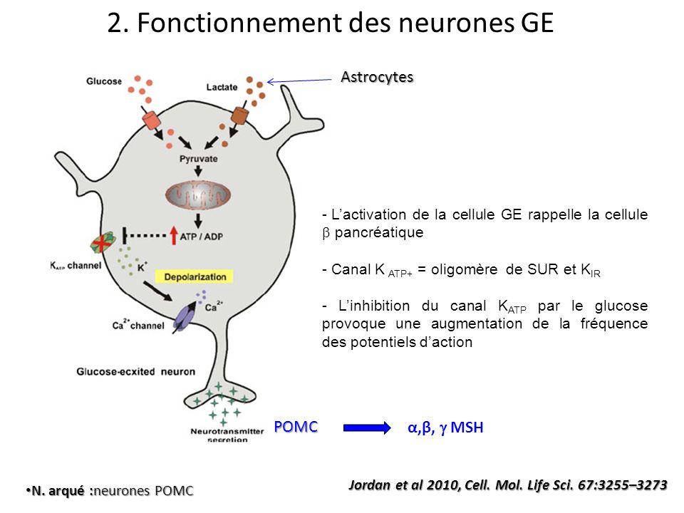Jordan et al 2010, Cell. Mol. Life Sci. 67:3255–3273 2. Fonctionnement des neurones GE N. arqué :neurones POMC N. arqué :neurones POMCAstrocytes - Lac