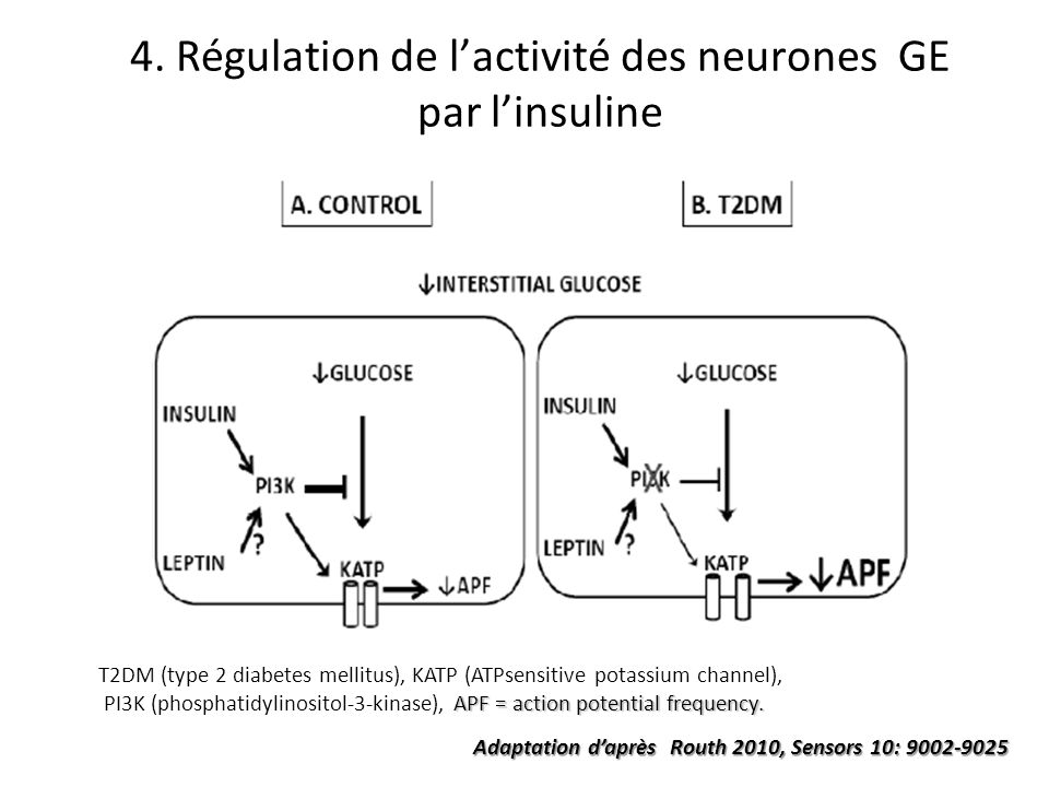 4. Régulation de lactivité des neurones GE par linsuline T2DM (type 2 diabetes mellitus), KATP (ATPsensitive potassium channel), APF = action potentia