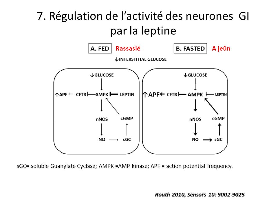 sGC= soluble Guanylate Cyclase; AMPK =AMP kinase; APF = action potential frequency. Routh 2010, Sensors 10: 9002-9025 7. Régulation de lactivité des n