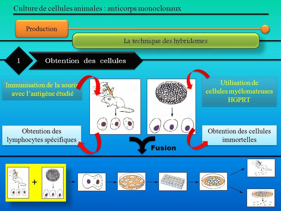 Production Culture de cellules animales : anticorps monoclonaux La technique des hybridomes Obtention des cellules 1 1 + Immunisation de la souris ave