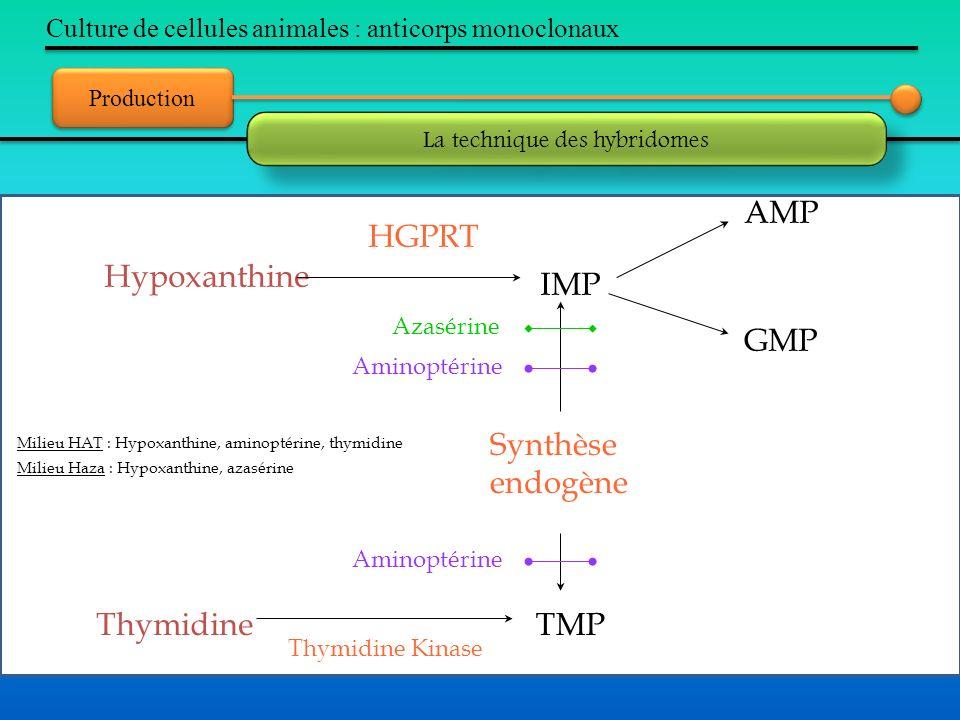 Production Culture de cellules animales : anticorps monoclonaux La technique des hybridomes Hypoxanthine IMP AMP GMP Synthèse endogène TMPThymidine HG
