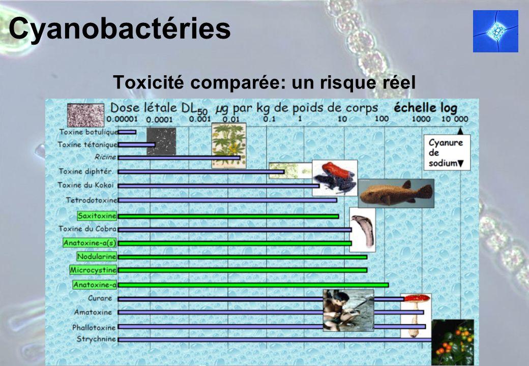 Cyanobactéries Toxicité comparée: un risque réel