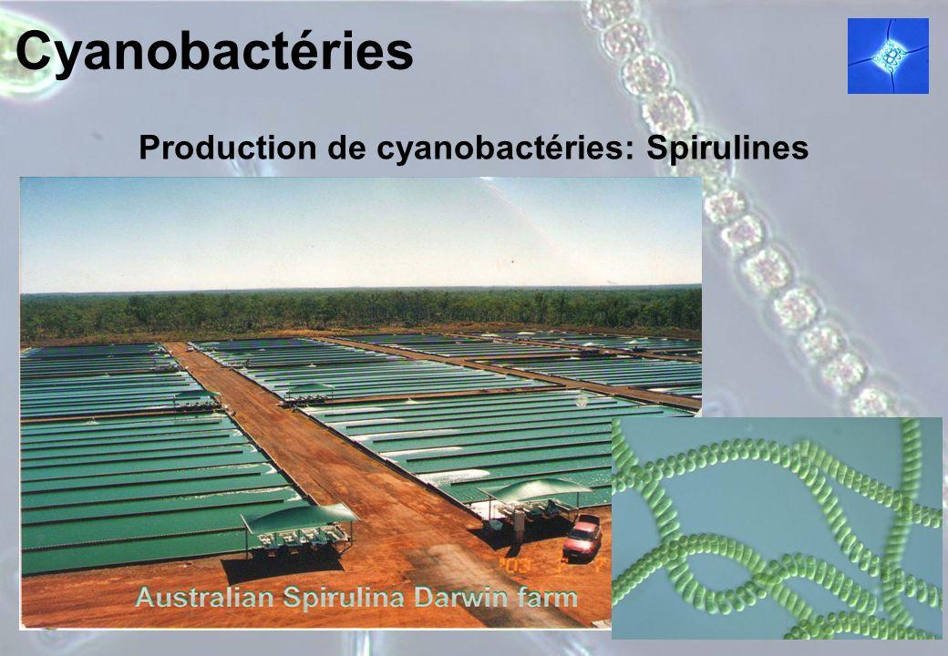 Cyanobactéries Production de cyanobactéries: Spirulines