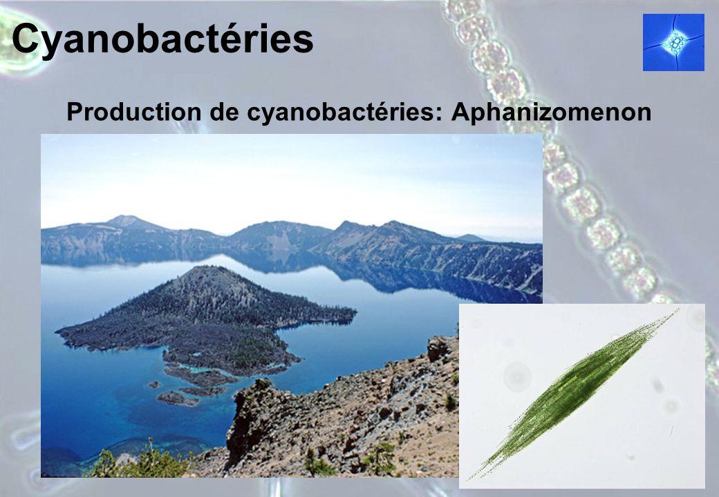 Cyanobactéries Production de cyanobactéries: Aphanizomenon