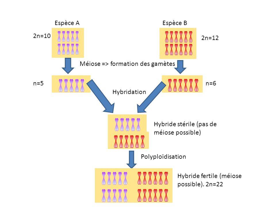 Espèce AEspèce B Méiose => formation des gamètes n=6n=5 Hybridation Hybride stérile (pas de méiose possible) Polyploïdisation Hybride fertile (méiose