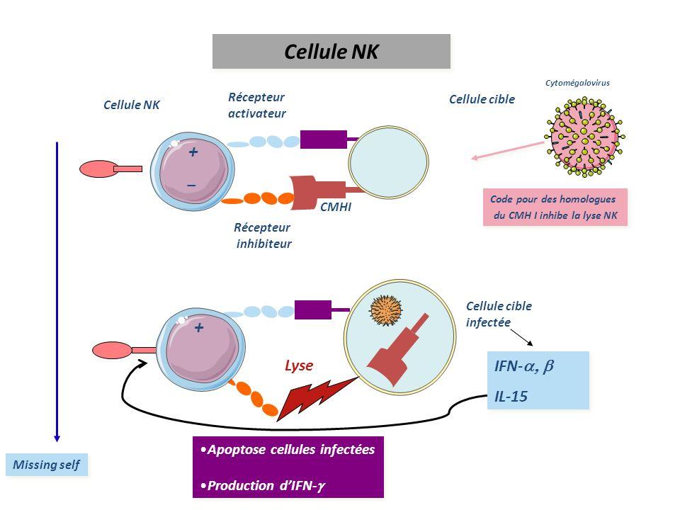 Récepteur inhibiteur CMHI Cellule NK Cellule cible Récepteur activateur - Missing self - Lyse Apoptose cellules infectées Production dIFN- Apoptose ce