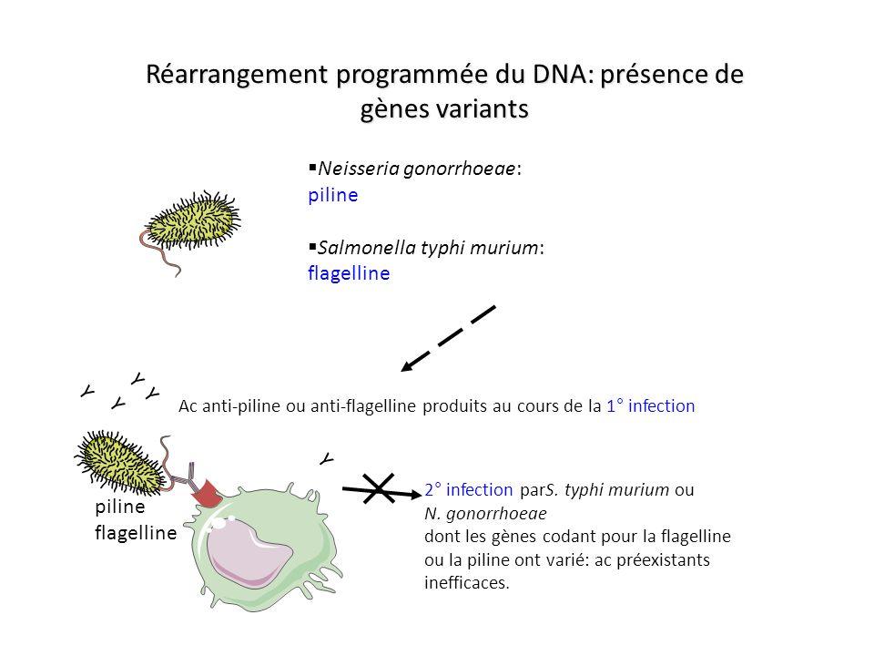 Y Y Neisseria gonorrhoeae: piline Salmonella typhi murium: flagelline Ac anti-piline ou anti-flagelline produits au cours de la 1° infection piline fl