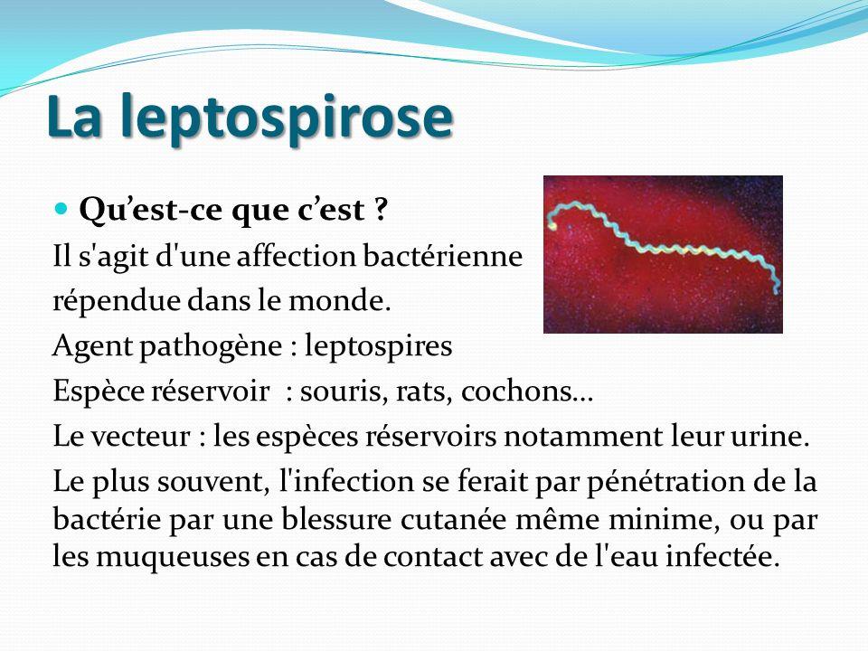 La leptospirose Quest-ce que cest .Il s agit d une affection bactérienne répendue dans le monde.