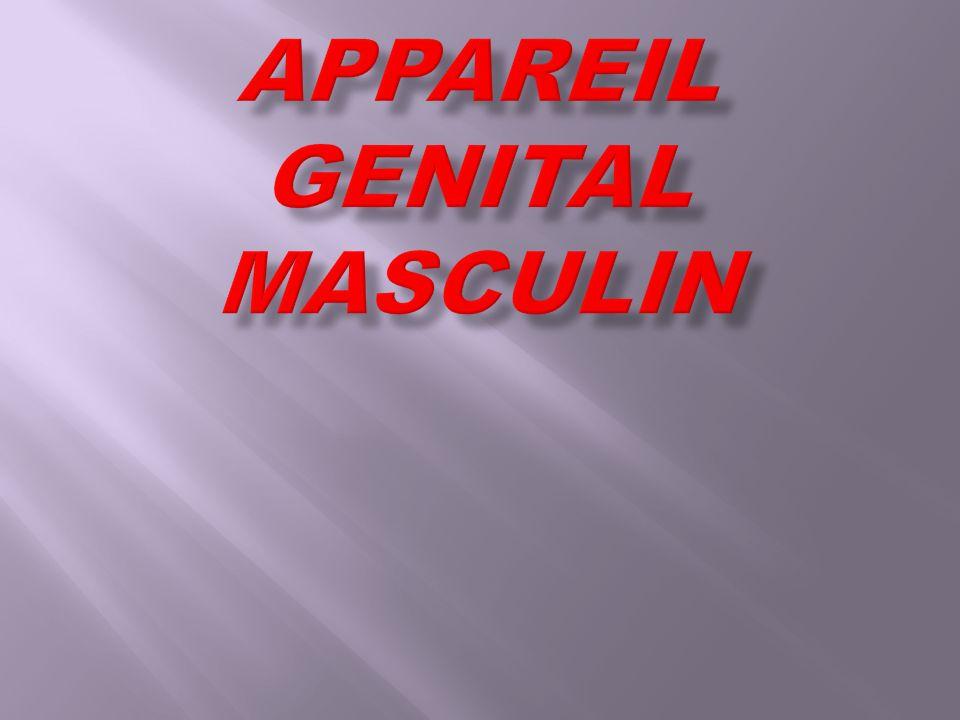 Testicule Les organes génitaux sont en dehors de la cavité abdominale.