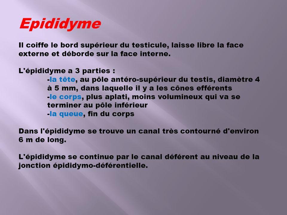 Epididyme Il coiffe le bord supérieur du testicule, laisse libre la face externe et déborde sur la face interne. L'épididyme a 3 parties : -la tête, a