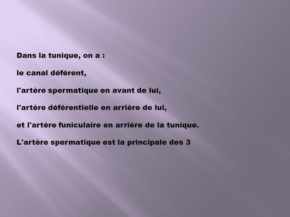 Dans la tunique, on a : le canal déférent, l artère spermatique en avant de lui, l artère déférentielle en arrière de lui, et l artère funiculaire en arrière de la tunique.