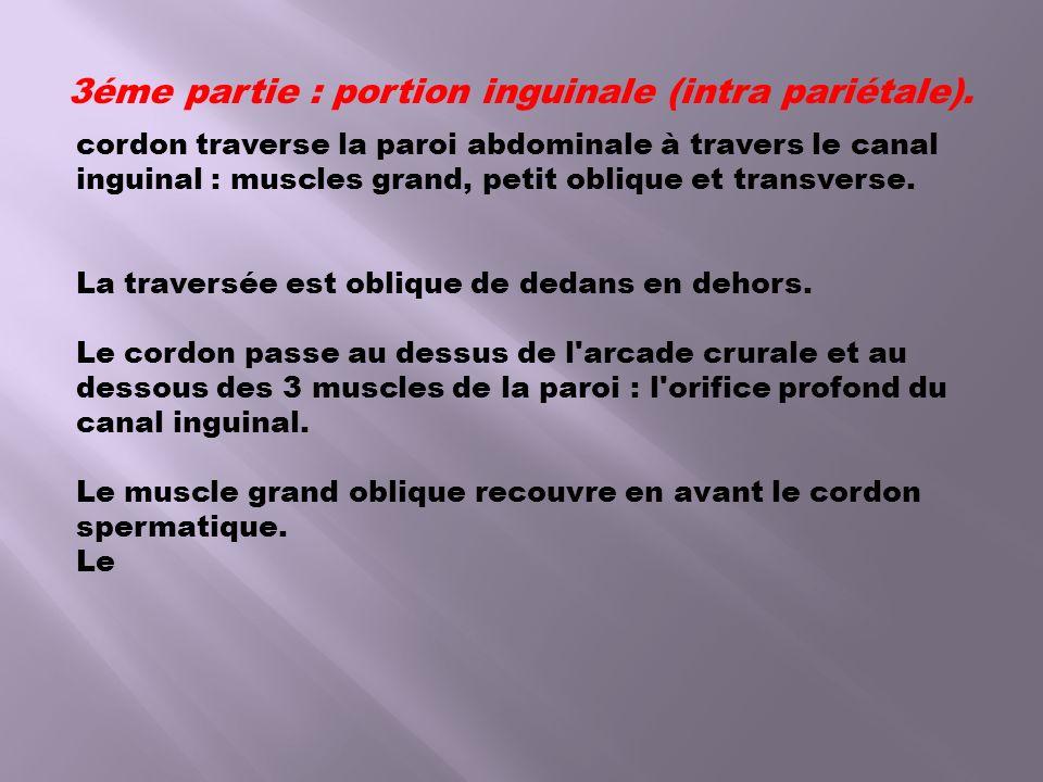 3éme partie : portion inguinale (intra pariétale). cordon traverse la paroi abdominale à travers le canal inguinal : muscles grand, petit oblique et t