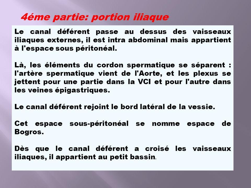 4éme partie: portion iliaque Le canal déférent passe au dessus des vaisseaux iliaques externes, il est intra abdominal mais appartient à l'espace sous