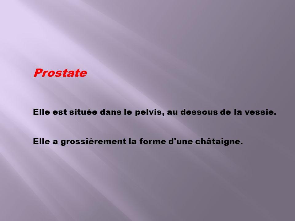 Prostate Elle est située dans le pelvis, au dessous de la vessie. Elle a grossièrement la forme d'une châtaigne.
